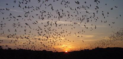 bat_flight_carlsbad