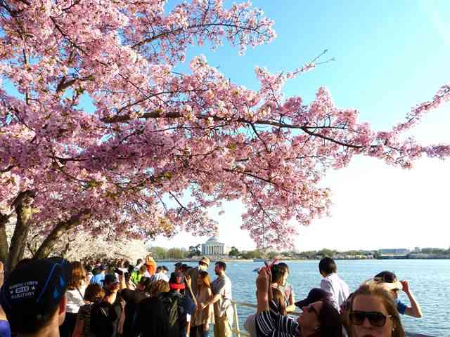 WashingtonDC-sakura (6)