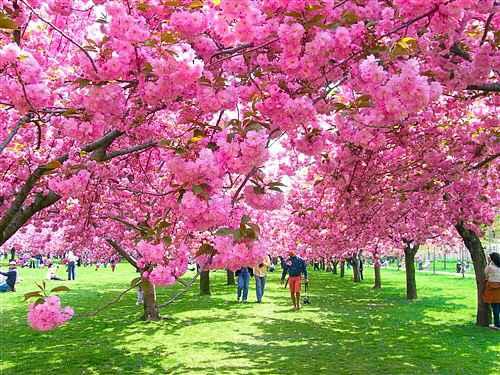 ニューヨーク お花見シーズン!桜とサクラ祭りのおすすめスポット Petite New York