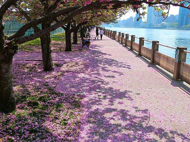 Roosevelt-island-sakura (1)