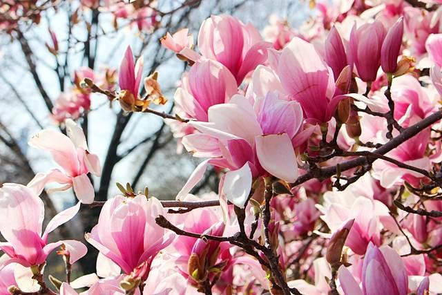 Central Park Magnolia (14)