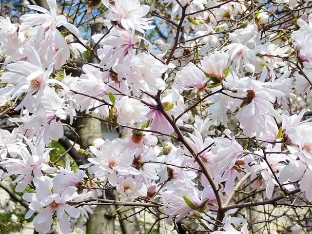 Central Park Magnolia (9)