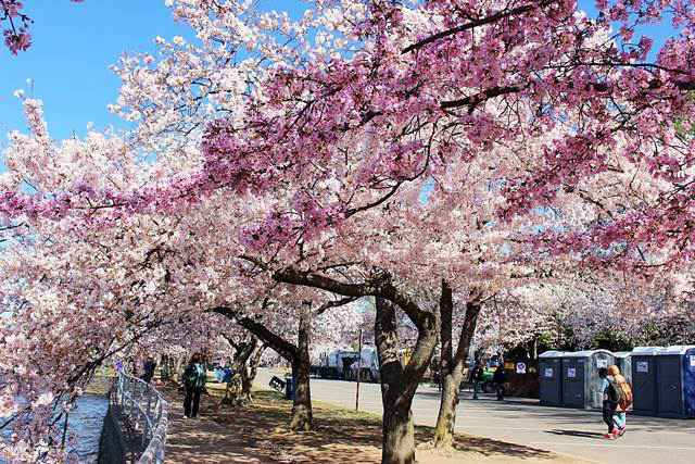 WashingtonDC-Cherryblossom (1)