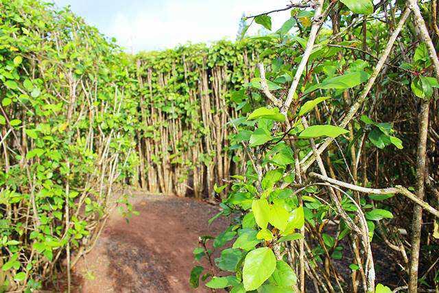 Dole Plantation (12)