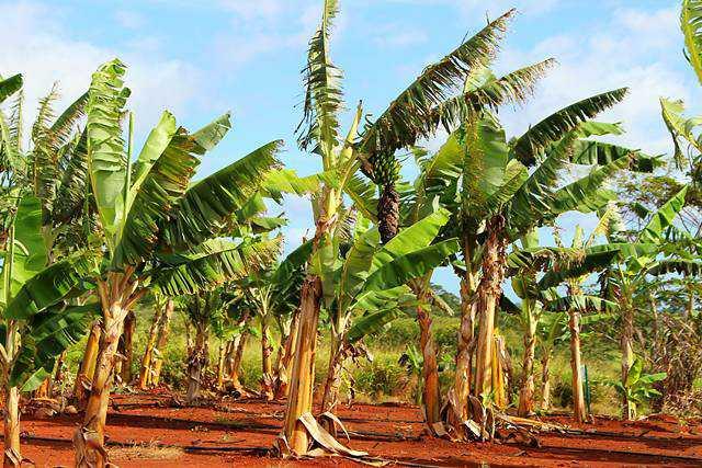 Dole Plantation (19)