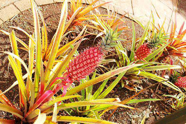 Dole Plantation (2)