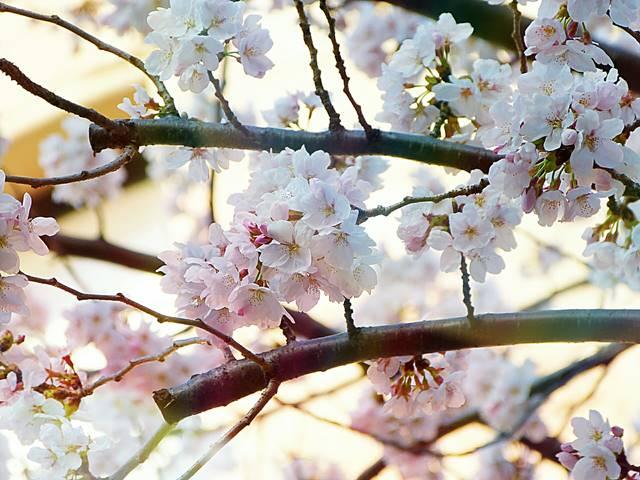 AMNH Cherry Blossom (2)
