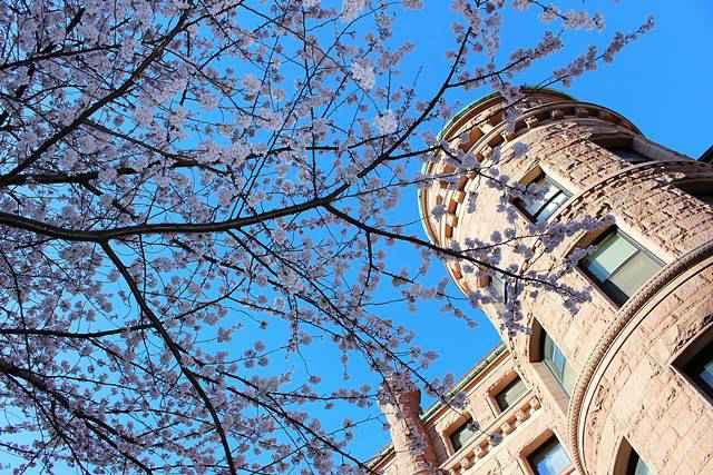 AMNH Cherry Blossom