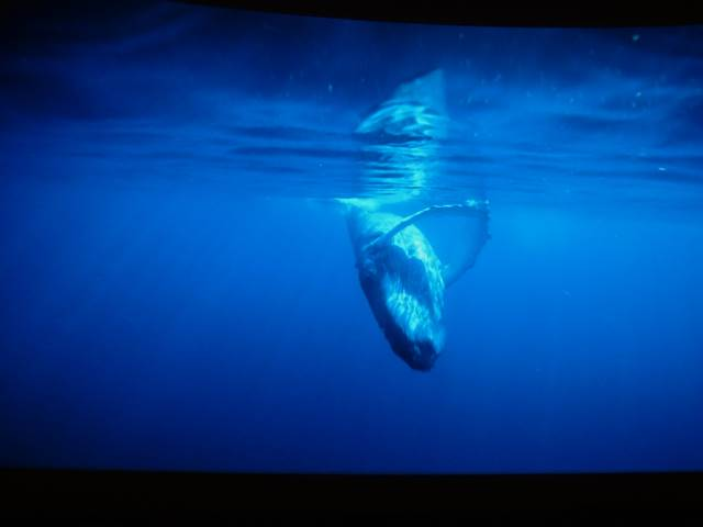 AMNH Whale (1)