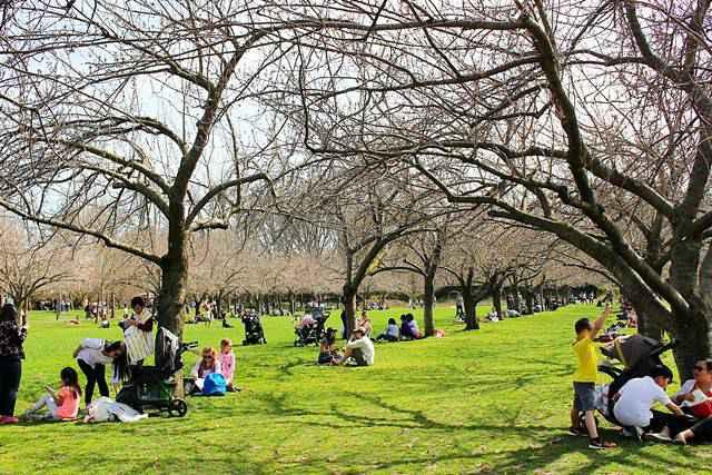 Brooklyn Botanic Garden Cherry Blossoms 21 Petite New York