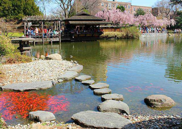 Brooklyn Botanic Garden Cherry Blossoms 23 Petite New York