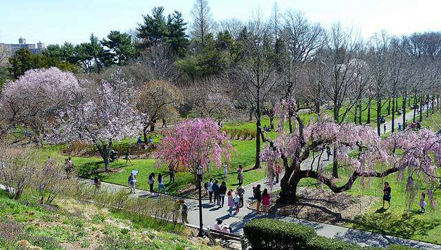 Brooklyn Botanic Garden Cherry Blossoms (8)