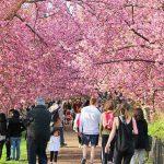 Central Park Cherryblossoms (1)