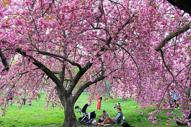 Central Park Cherryblossoms (12)