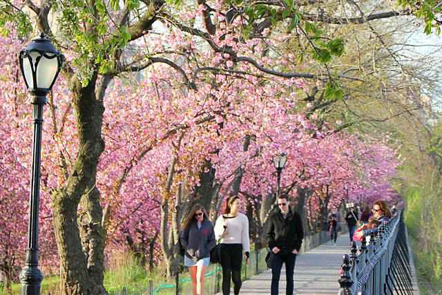 Central Park Cherryblossoms (15)