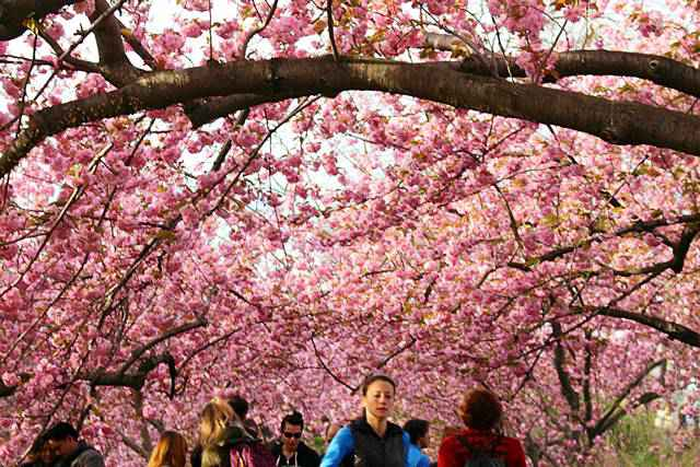 Central Park Cherryblossoms (4)