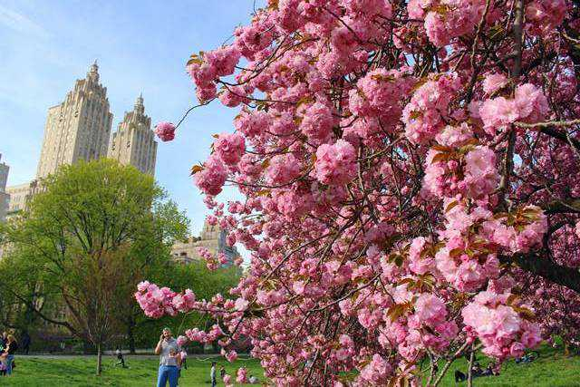 Central Park Cherryblossoms (8)