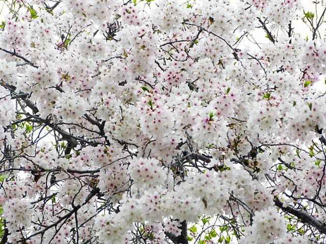Central Park Spring (3)