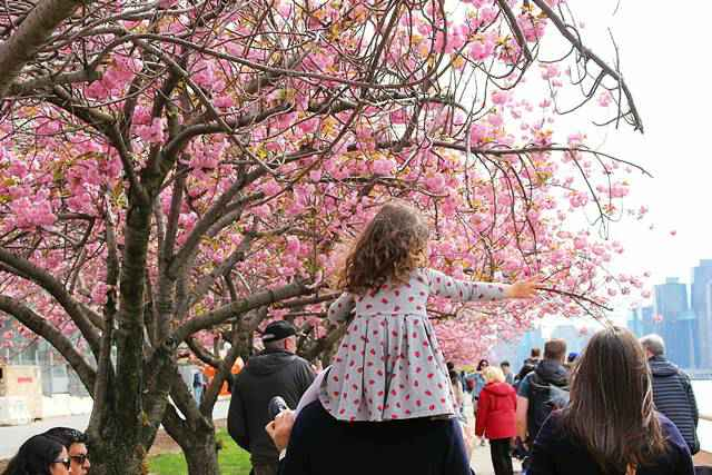 Roosevelt Island Cherry Blossoms (1)