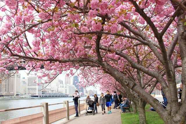 Roosevelt Island Cherry Blossoms (10)