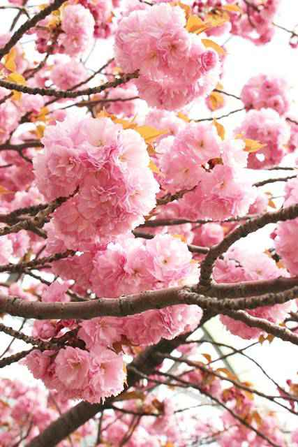 Roosevelt Island Cherry Blossoms (11)