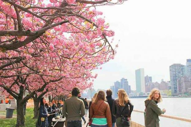 Roosevelt Island Cherry Blossoms (2)