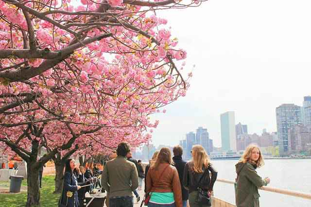 Roosevelt Island Cherry Blossoms (2)