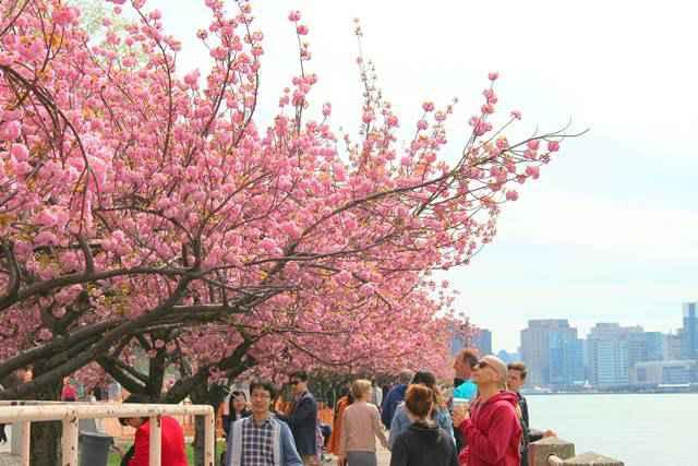 Roosevelt Island Cherry Blossoms (5)