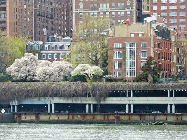 Roosevelt Island Cherry Blossoms (7)