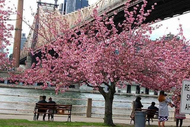 Roosevelt Island Cherry Blossoms (8)
