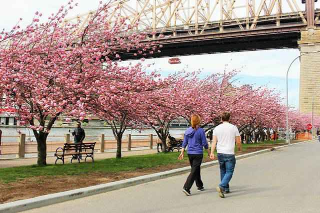 Roosevelt Island Cherry Blossoms (9)