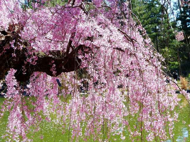 Brooklyn Botanic Garden Cherry Blossoms (1)