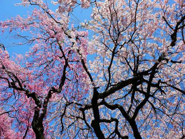 Brooklyn Botanic Garden Cherry Blossoms (11)