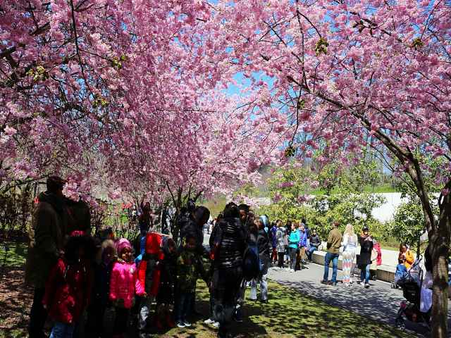 Brooklyn Botanic Garden Cherry Blossoms (12)