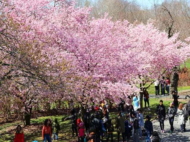 Brooklyn Botanic Garden Cherry Blossoms (13)