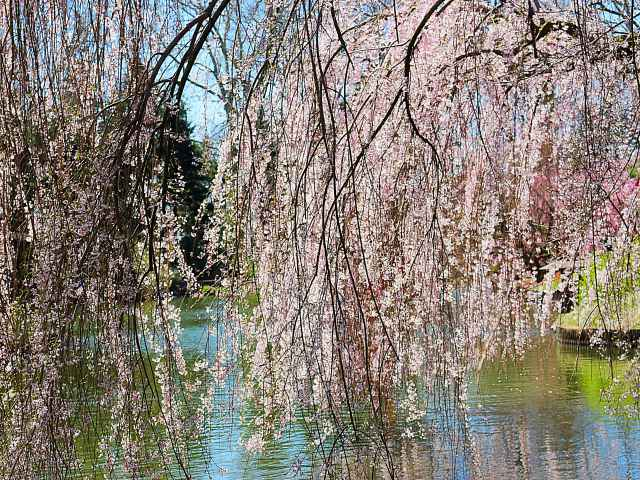 Brooklyn Botanic Garden Cherry Blossoms (4)