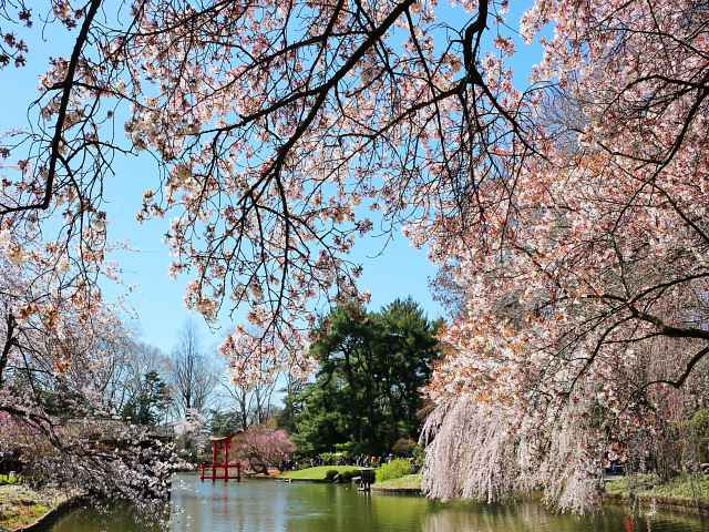 Brooklyn Botanic Garden Cherry Blossoms (5)