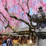 Brooklyn Botanic Garden Cherry Blossoms (7)