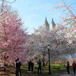 Central Park Cherryblossoms NY (1)