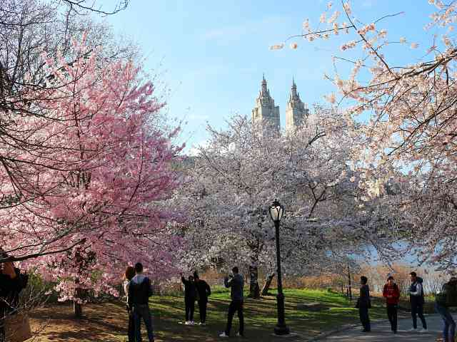 Central Park Cherryblossoms NY (1)