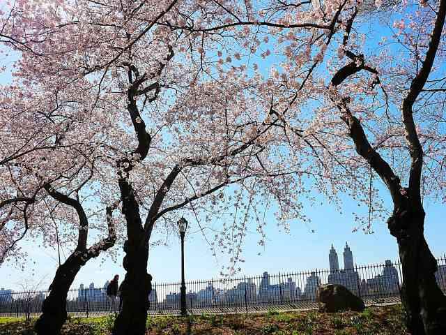 Central Park Cherryblossoms NY (10)