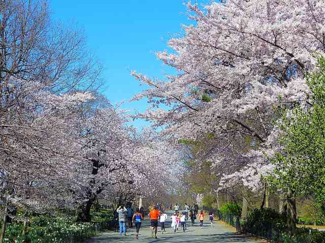 Central Park Cherryblossoms NY (12)