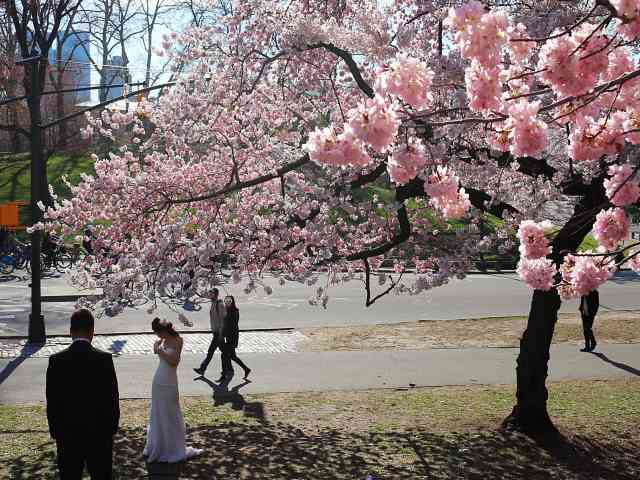 Central Park Cherryblossoms NY (4)