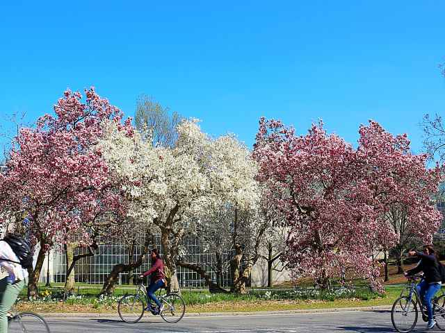 Central Park Cherryblossoms NY (8)