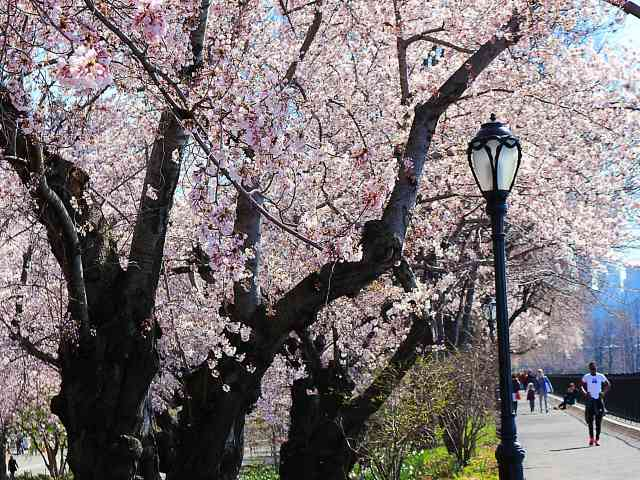 Central Park Cherryblossoms NY (9)