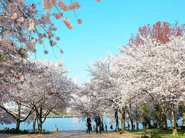 Washington DC Cherryblossom (1)