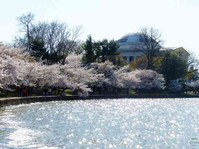 Washington DC Cherryblossom (20)