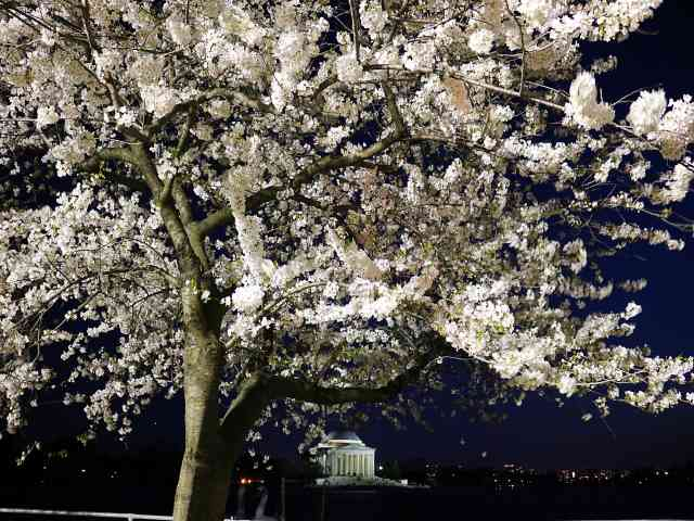 Washington DC Cherryblossom (22)