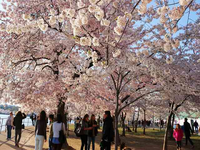 Washington DC Cherryblossom (5)