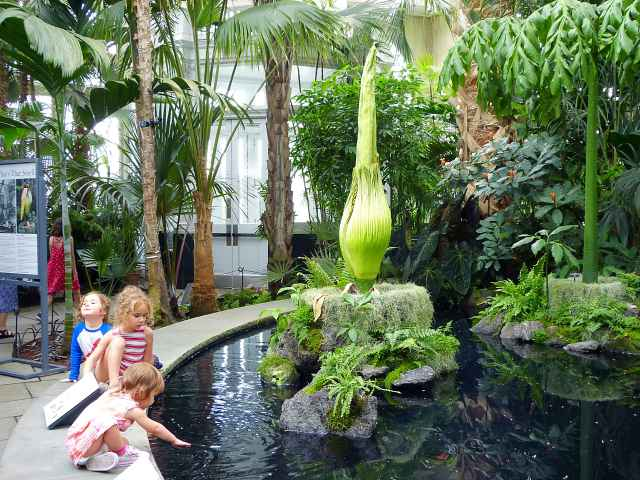 Corpse Flower NYBG (1)